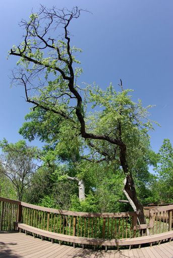 Chittamwood (Sideroxylon lanuginosum)