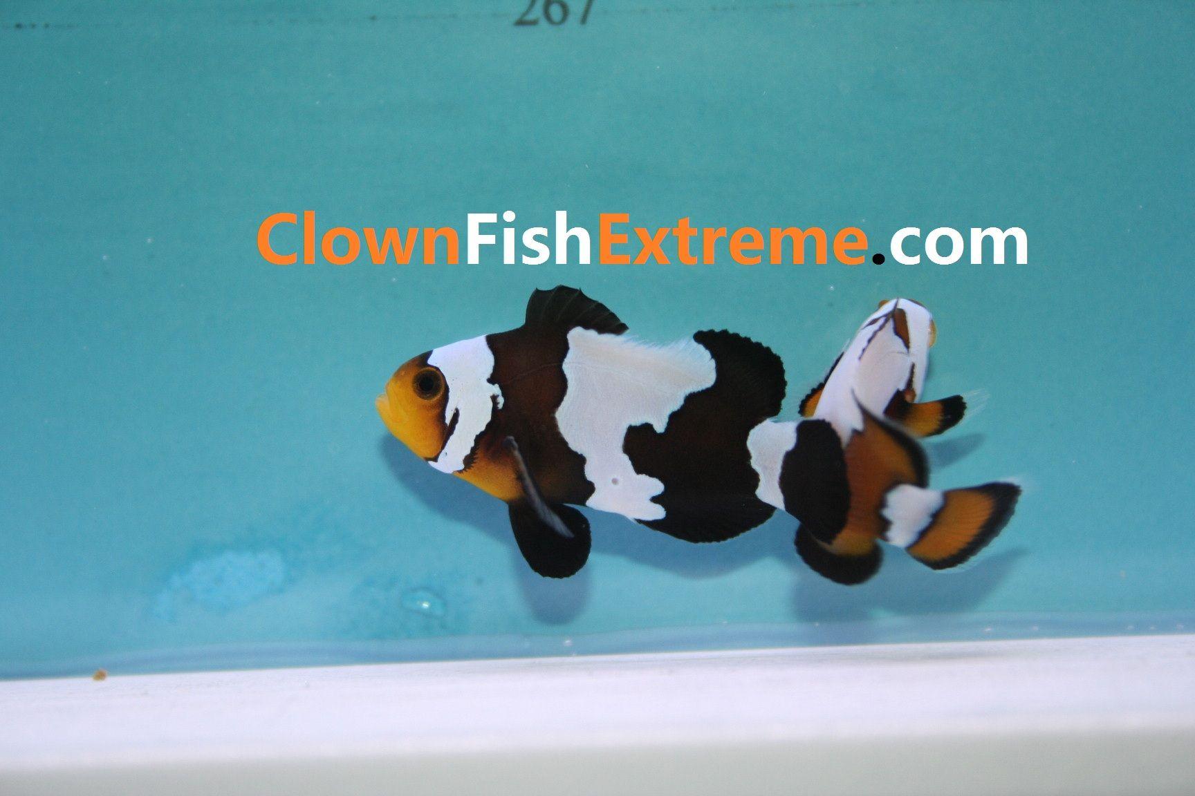 Black Phantom Clownfish Clown Fish Phantom Lockscreen
