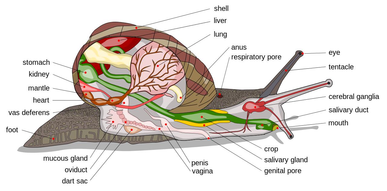 diagram of the inside of sea slug - Google Search | Sea Creatures ...