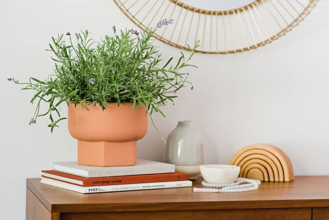 How to grow lavender indoors in 2020 growing lavender