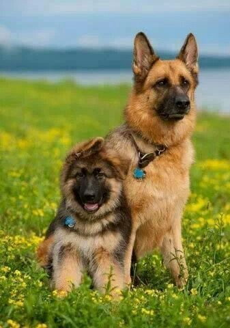 Gsd Mom And A Kid Black German Shepherd German Shepherd Dogs