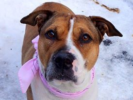 TO BE DESTROYED - 02/18/14 Manhattan Center -P  My name is ROXIE. My Animal ID # is A0991146. I am a female tan and white pit bull mix. The shelter thinks I am about 1 YEAR   **POSSIBLY PREGNANT**  I came in the shelter as a STRAY on 02/06/2014 from NY 10467, owner surrender reason stated was STRAY.  https://www.facebook.com/photo.php?fbid=755138991165649&set=a.611290788883804.1073741851.152876678058553&type=3&theater