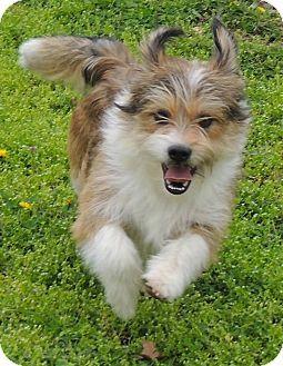 Facts About Simon Breed Sheltie Shetland Sheepdog Terrier