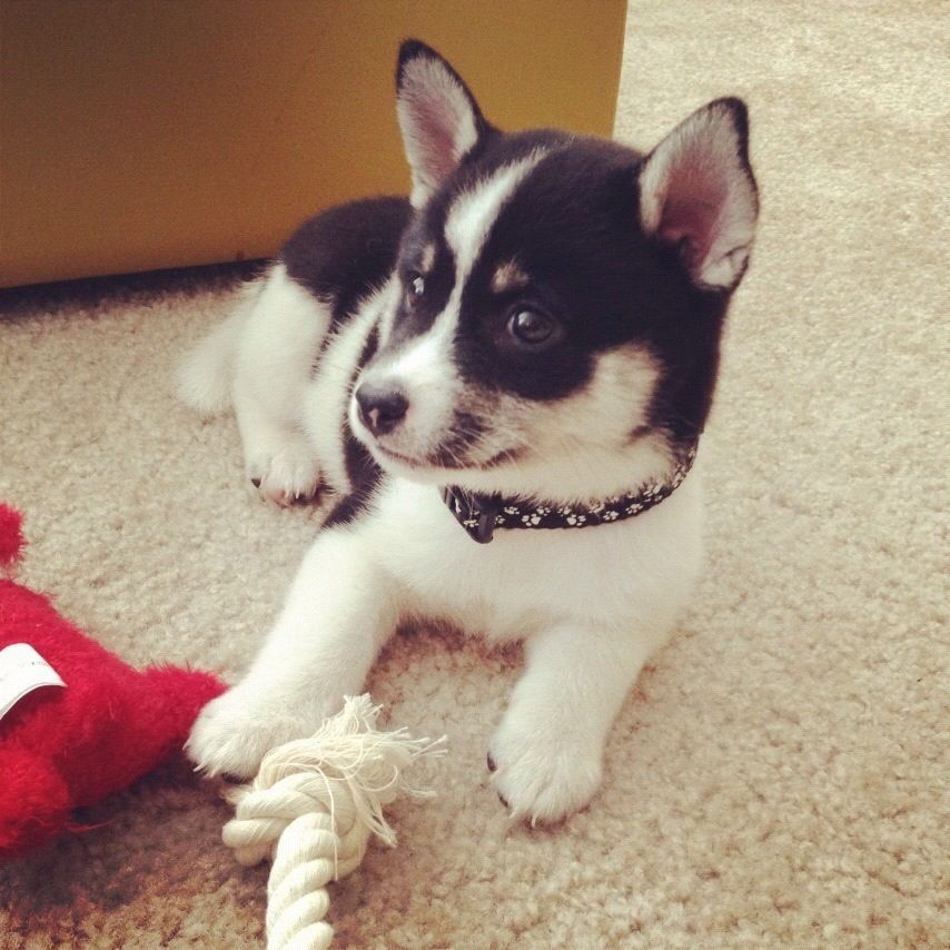 My First Puppy Ever Mini Husky Shiba Inu Mix Cute Dogs And