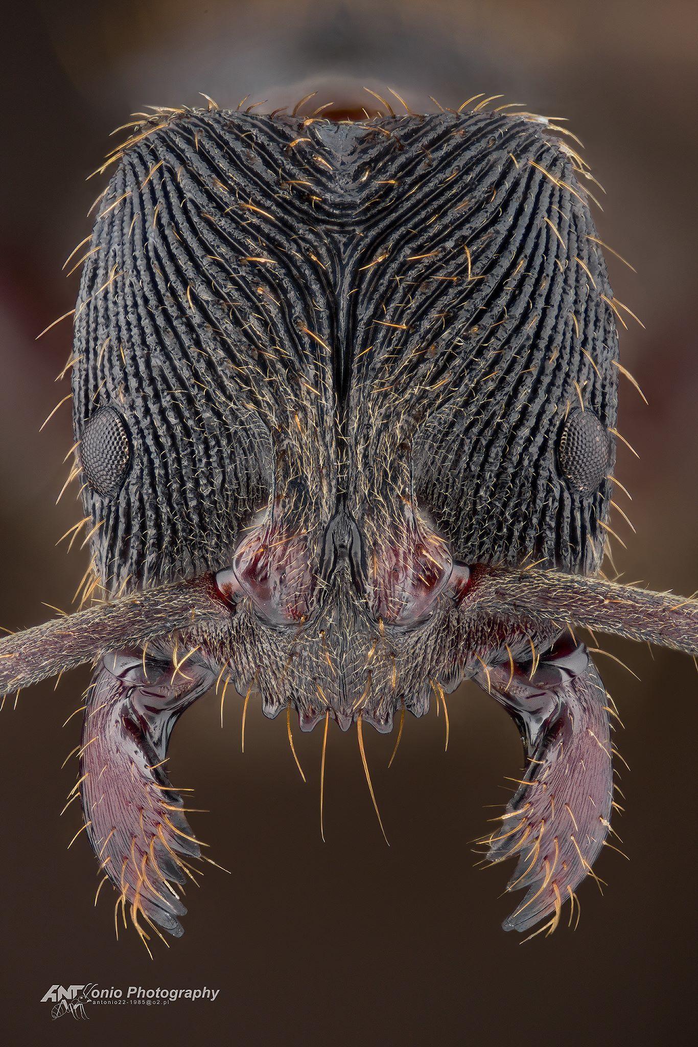 Odontoponera Denticulata 画像あり 虫 微生物