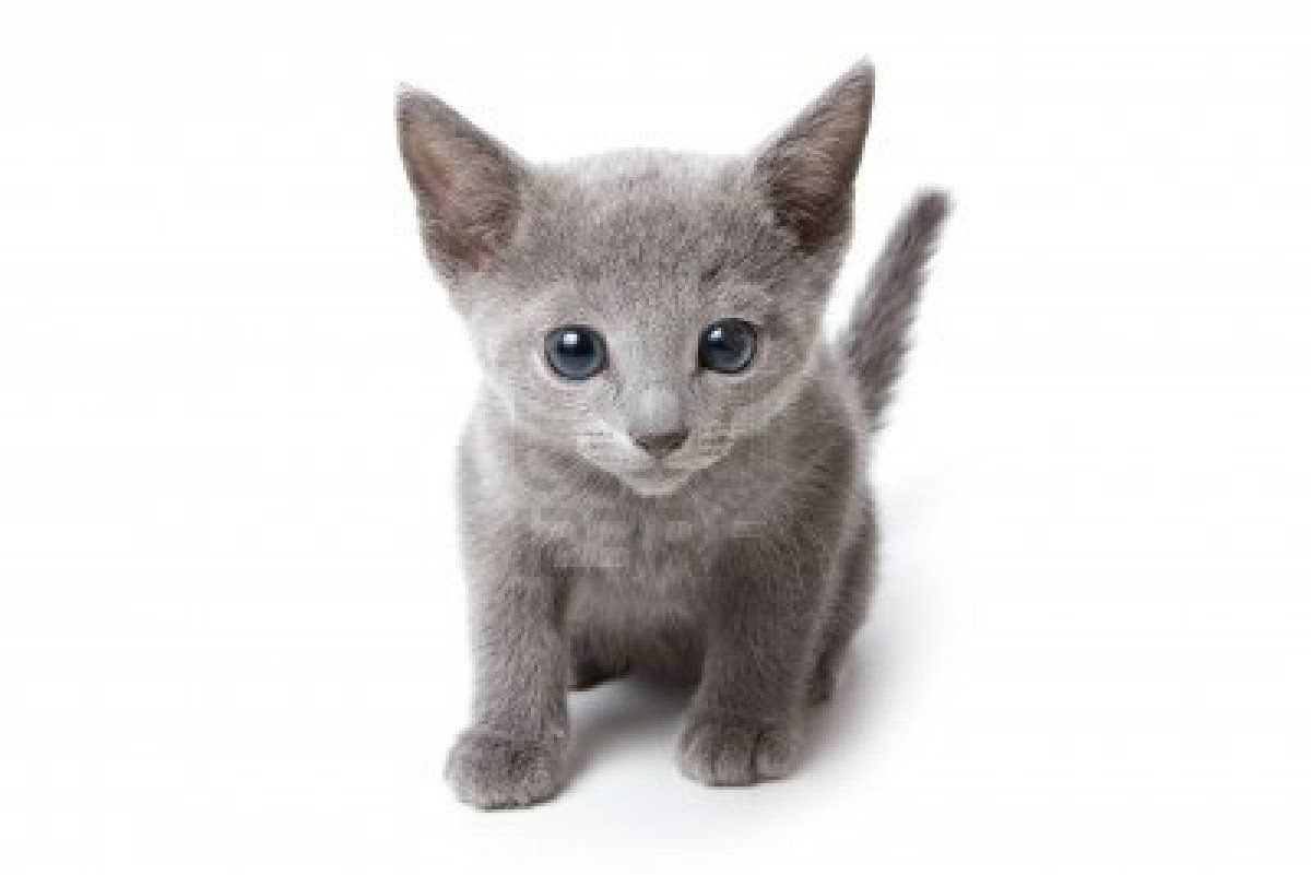 Cute Blue Eyed Kitten Sat Down Stock Photo Edit Now