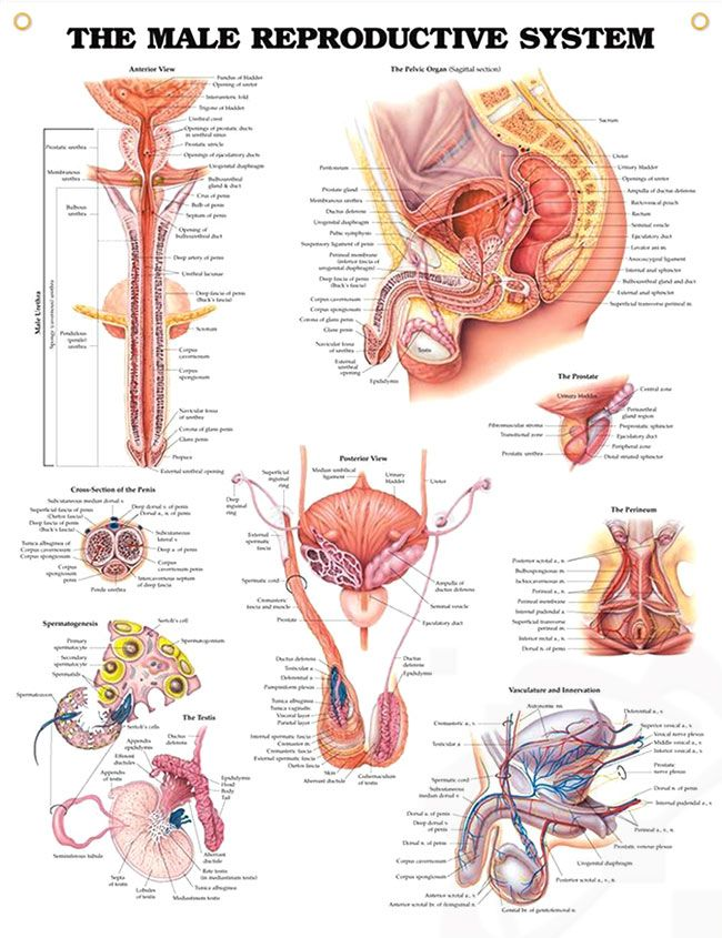 The Male Reproductive System Chart 20x26 Reproductive System