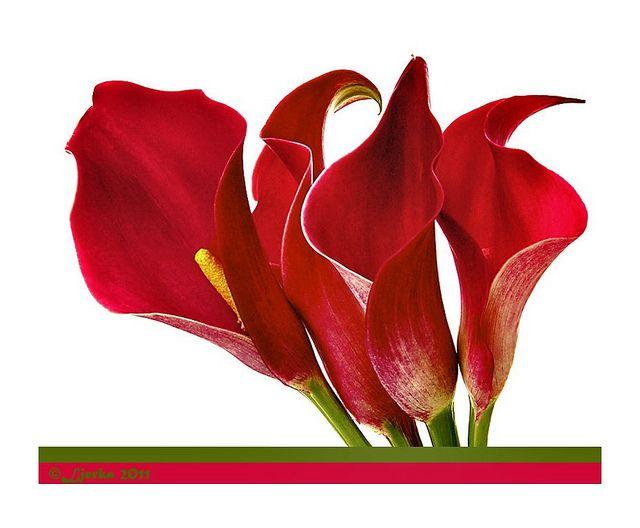 Lírios vermelhos...Crveni ljiljani...Red lilies