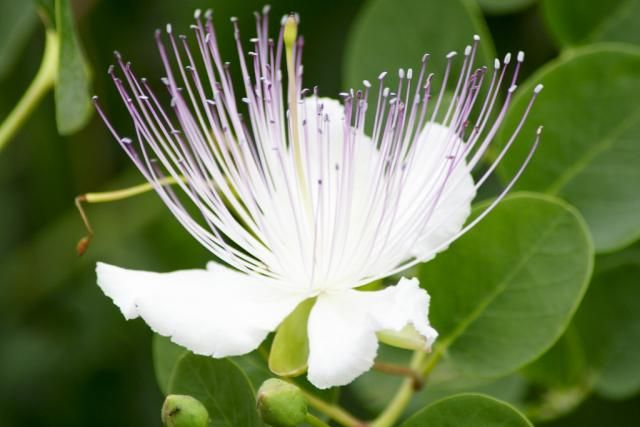 Flor Capparis Spinosa