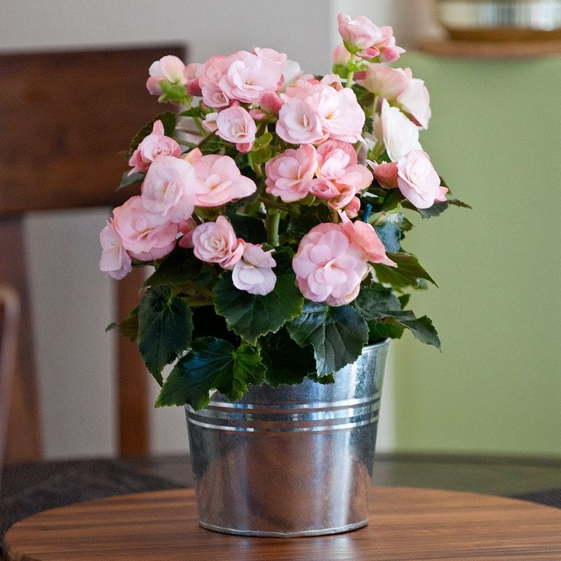 Flowering begonias are a perfect gift for your host when you go to flowering begonias are a perfect gift for your host when you go to easter dinner negle Images