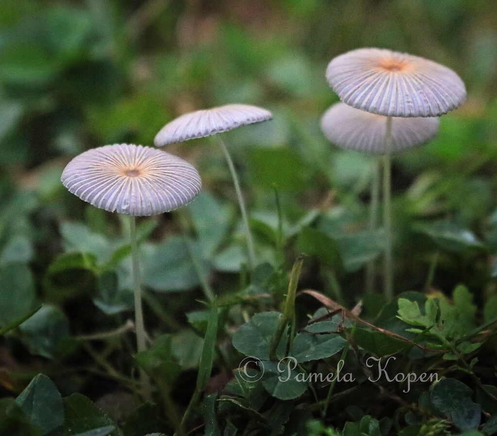 Pleated Inkcap Mushrooms Coprinus Plicatilis Also