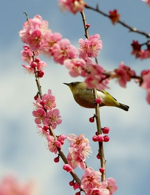 Mejiro (Japanese white-eye bird) on the branch of ume tree|メジロと梅の花