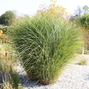 miscanthus sinensis 39 gracillimus 39 chinaschilf prascak. Black Bedroom Furniture Sets. Home Design Ideas