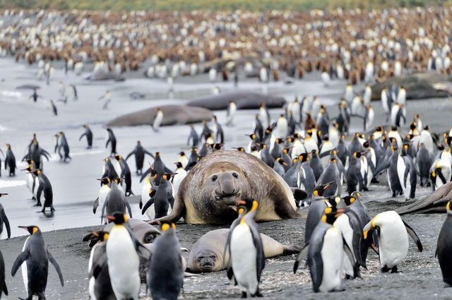 ペンギンとゾウアザラシ(英領・サウスジョージア島)