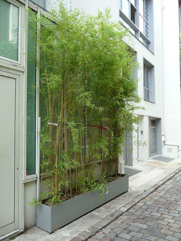 Rideau de bambous plantés dans une jardinière, impasse santos ...