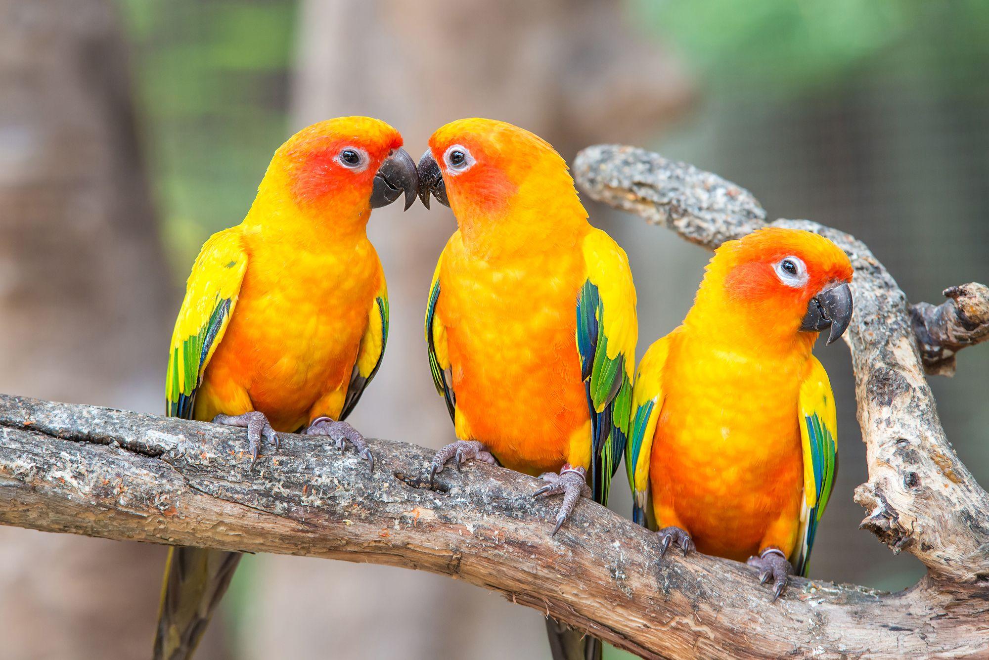 vogelhaltung das ist wichtig pfirsichk pfchen wellensittich und papageien. Black Bedroom Furniture Sets. Home Design Ideas
