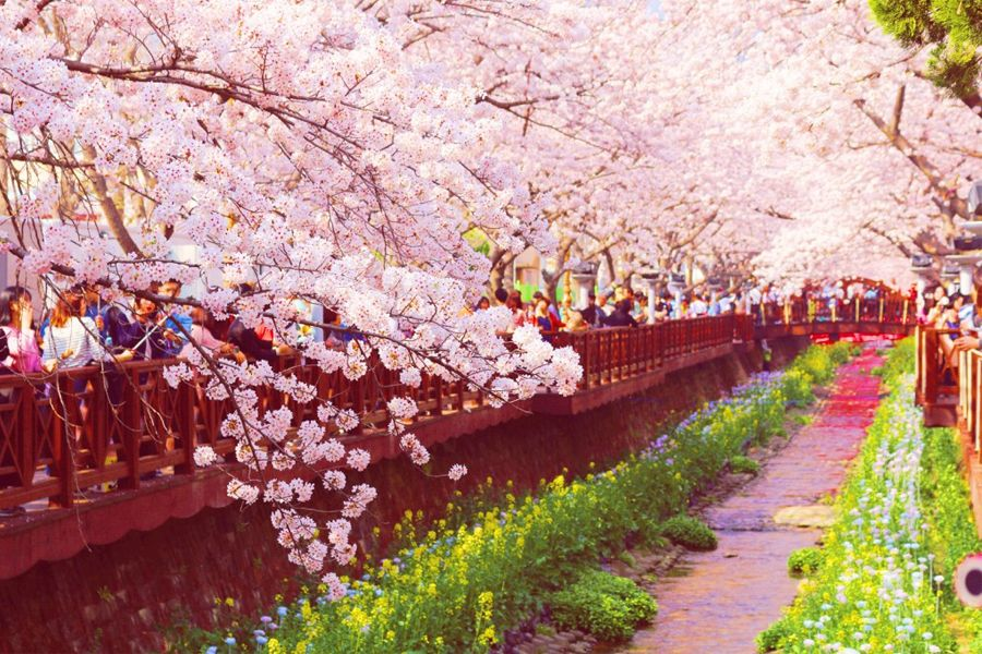 Cherry Blossom Viewing In Korea 2019 Here S Everything You Need To Know Avenue One Cherry Blossom Festival Cherry Blossom Cherry Blossom Japan