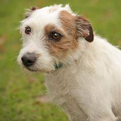 Flaubert 4200 Chien Fox Terrier A Adopter Chien A Donner Adopter Un Chiot Chien