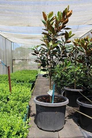 Advanced Magnolia Little Gems In Massive 50cm Pots Plants