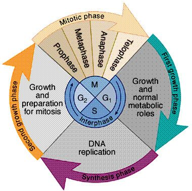 The cell cycle: mitosis and meiosis. Great image!   Science for ...