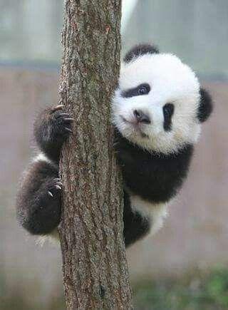 Kleiner Klettermax #babypandas