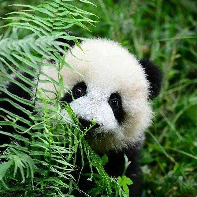 фото с пандами милые украине публичное использование