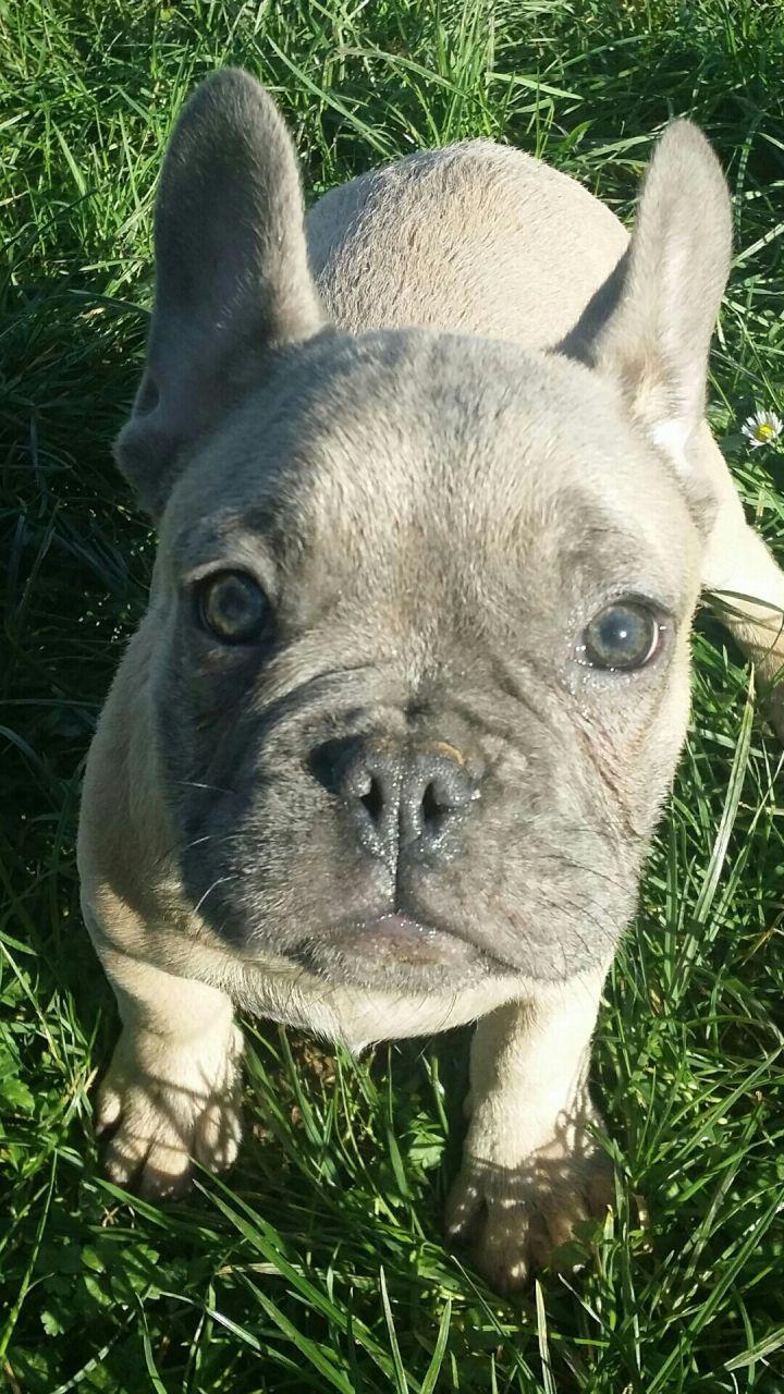 Boycie Find A Pet Rspca Org Uk Dogs Bulldogs Mastiffs In