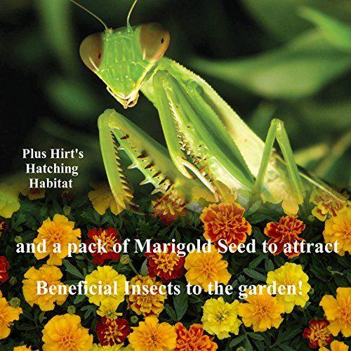 Amazon Com Praying Mantis 5 Egg Cases 500 2 000 Babies Hirt S Hatching Habitat Seeds Praying Mantids Patio Habitats Praying Mantis Lawn And Garden