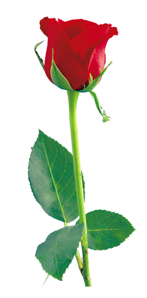 Red Rose Png Clipart Red Rose Png Dark Red Roses Red Roses