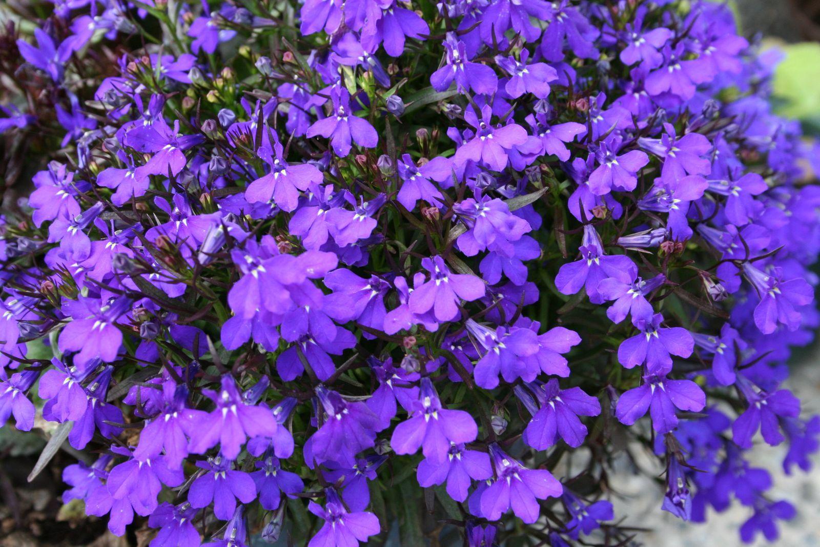 Beste lobelia - schaduwplant! | Schaduwplanten, Schaduwtuin, Schaduw planten PM-74