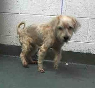 Safe Anna A1718605 I Am A Female White Terrier The Shelter Staff Think I Am About 8 Years Old And I Weigh 13 Pounds White Terrier Animals Animal Rescue