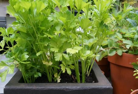 Growing Celery In A Container Garden Bcliving 400 x 300