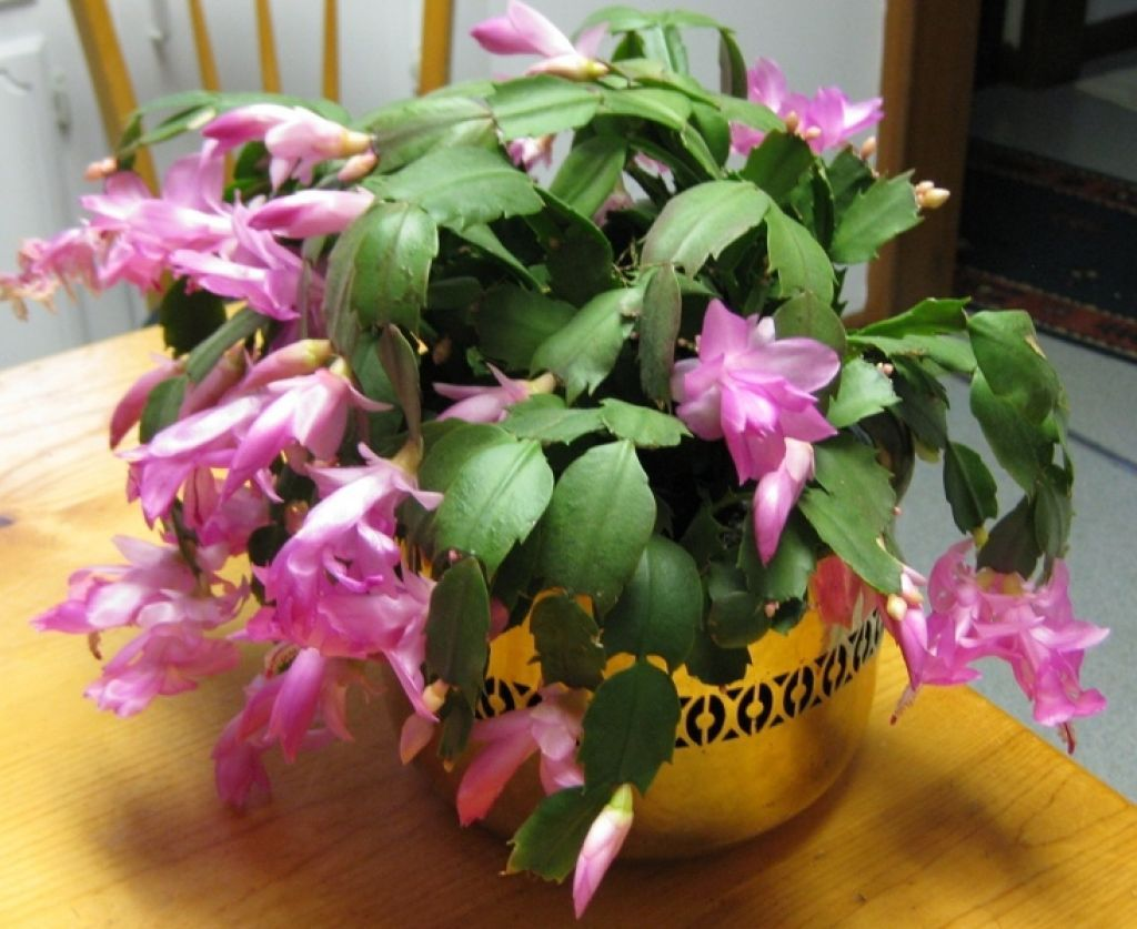 Christmas Cactus With Pink Flower In The Golden Pot Christmas
