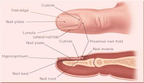 Finger Nail Disorders Index Of Disorder In Fingernails Toenails Nails