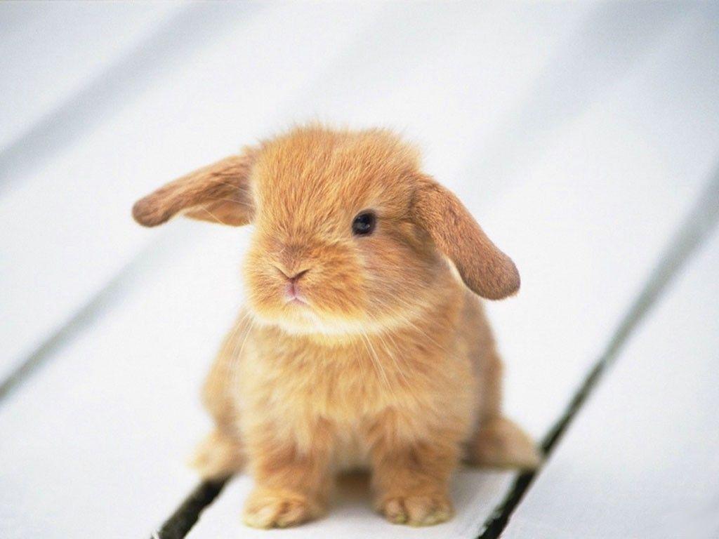Trop mignon animaux trop choupi pinterest more - Photo de lapin mignon ...