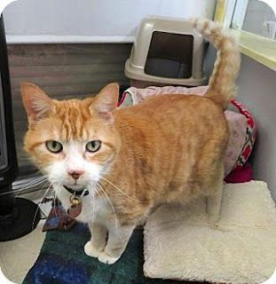 Pq Wants To Be Your Lap Cat Cat Adoption Cats Kitten Adoption