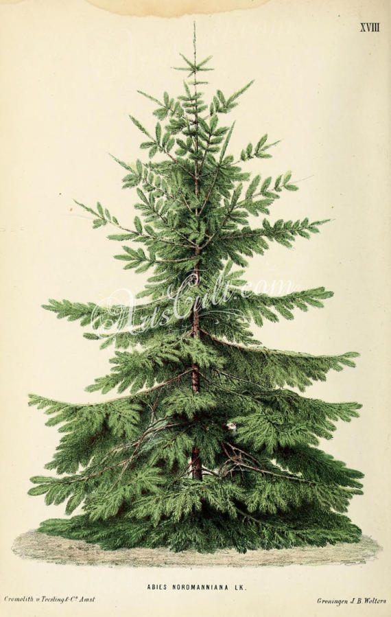 trees-00724 - Nordmann Fir or Caucasian Fir, abies nordmanniana, Christmas  tree green plants botanic - Trees-00724 - Nordmann Fir Or Caucasian Fir, Abies Nordmanniana