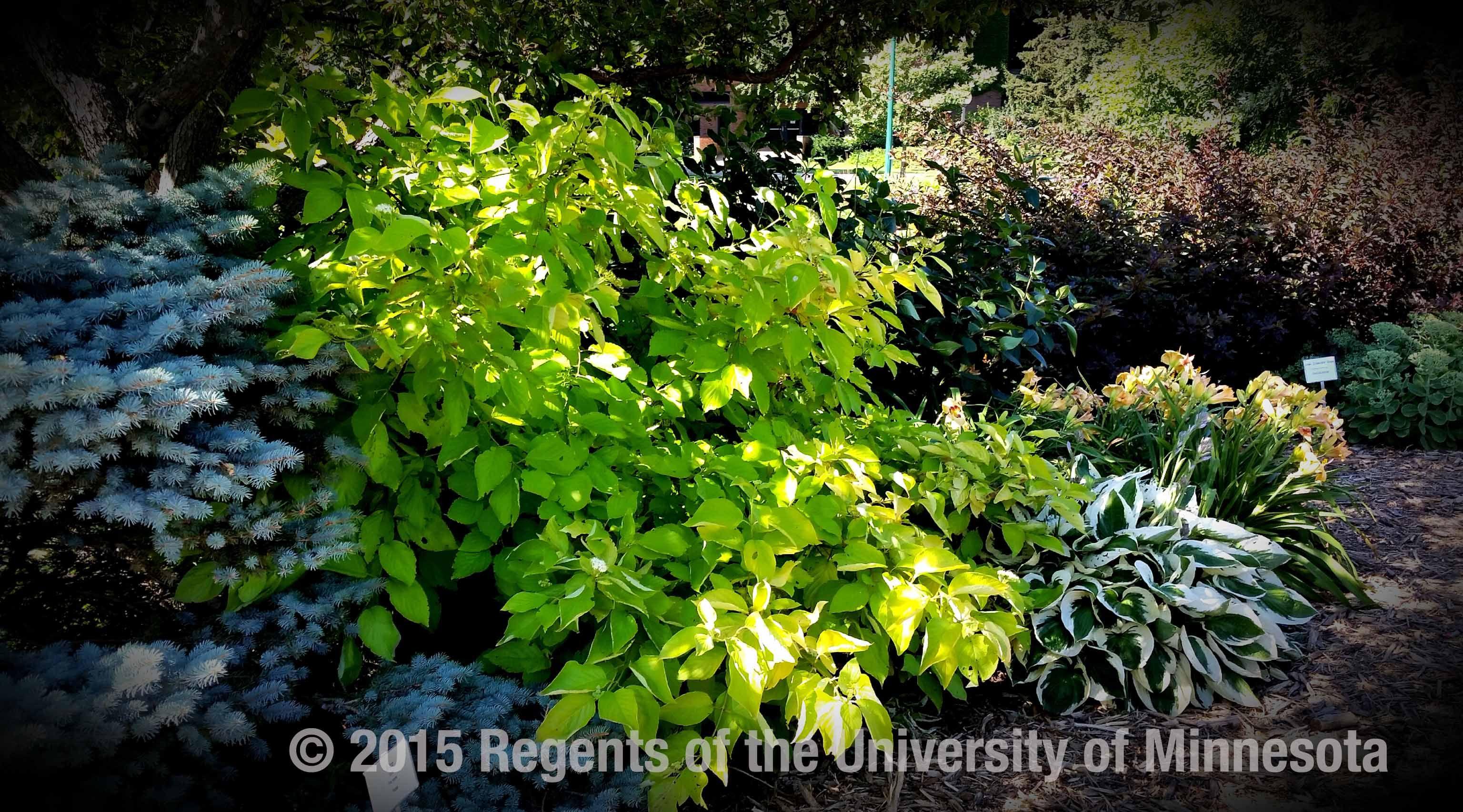 View Garden Glow TM Dogwood Garden, Plants, Dogwood