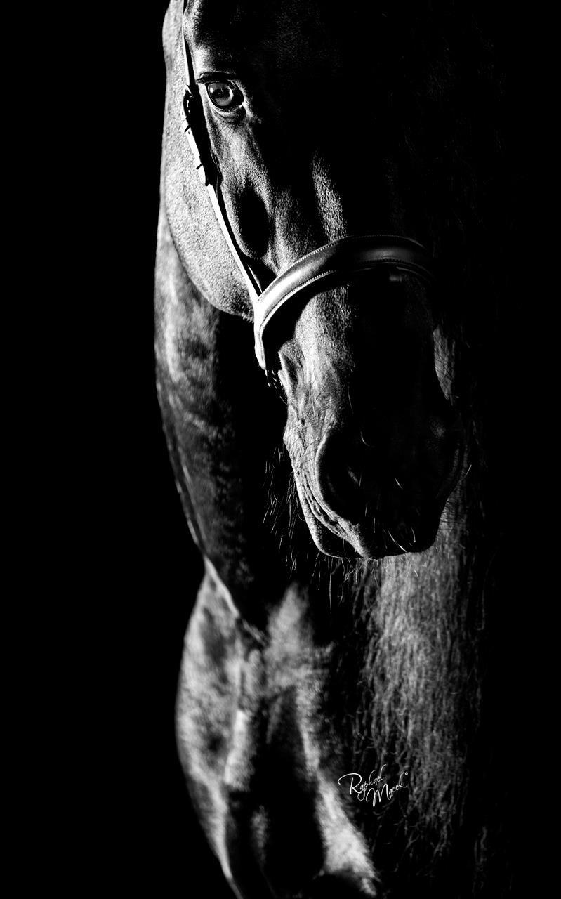 Photographies Equines De Sandrine Philippe Banquart Cheval Noir Et Blanc Animaux Noir Et Blanc Photos De Chevaux