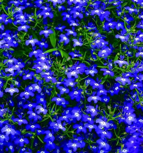 Lobelia Hot Blue Heat Tolerant Gardening Bliss Flower Seeds