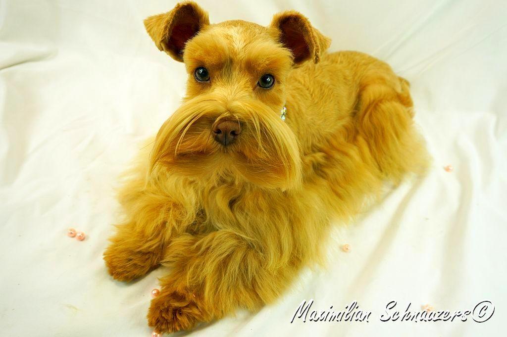 Foxy S Zena A Red Wheaten Schnauzer Bred By Vera Clark Miniature Schnauzer Puppies Schnauzer Puppy Schnauzer