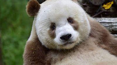 DIGITAL INFORMATIVA : Este es el único oso panda café en el mundo