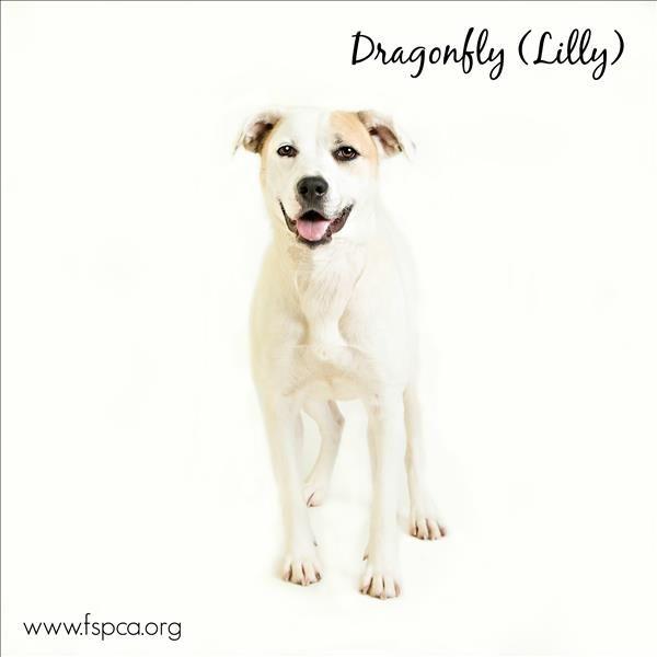I Found Dragonfly Lilly On Petfinder Dogs Labrador Retriever Mix Dog Adoption