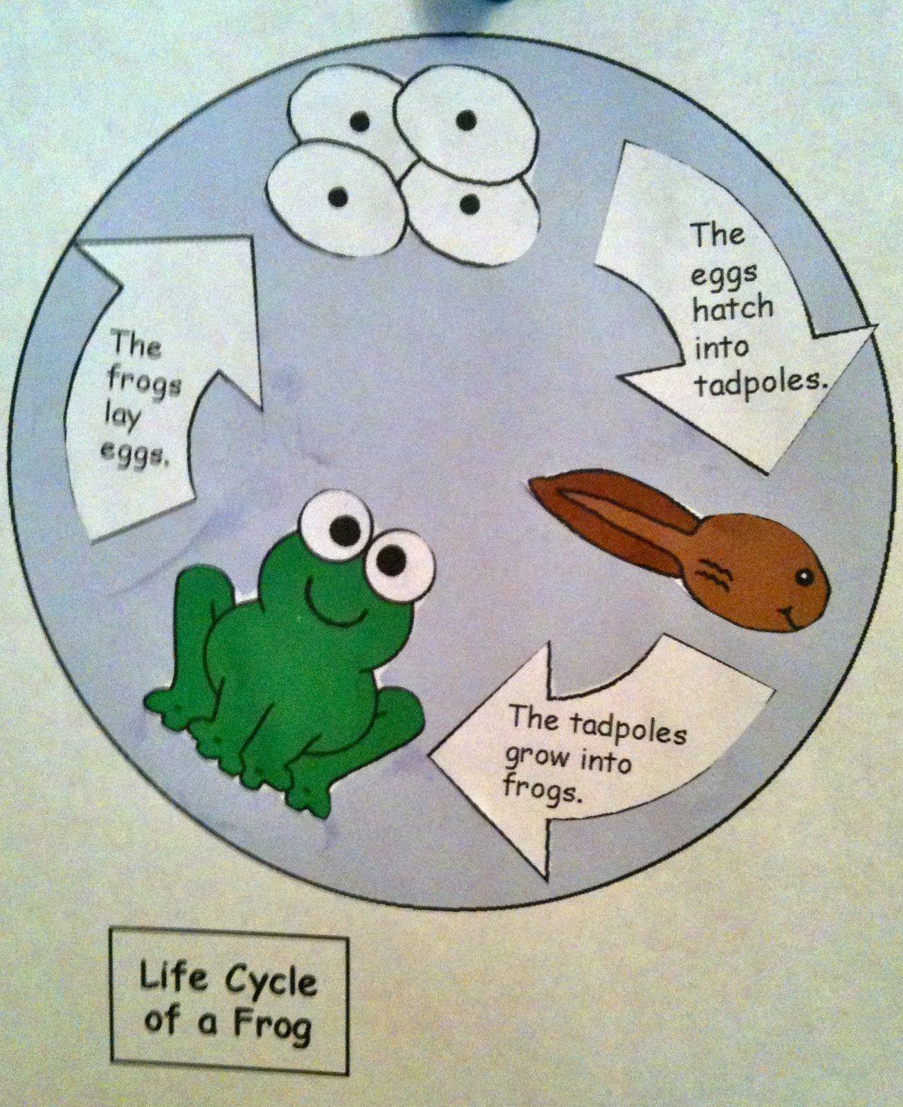 Frog Life Cycle For Kindergarten