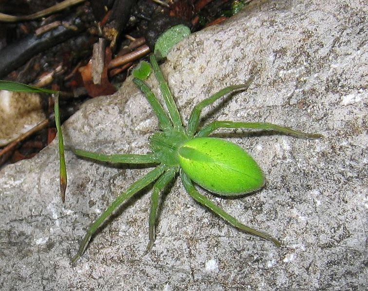 Micrommata virescens. I don't know why l have a board for
