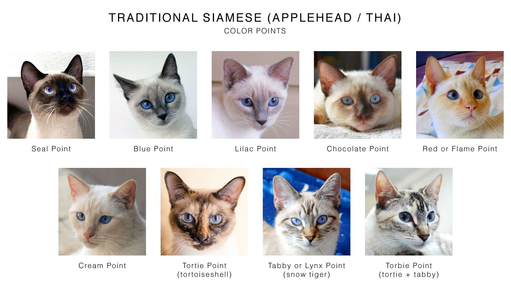 Traditional Siamese (Applehead / Thai) Color Points Chart