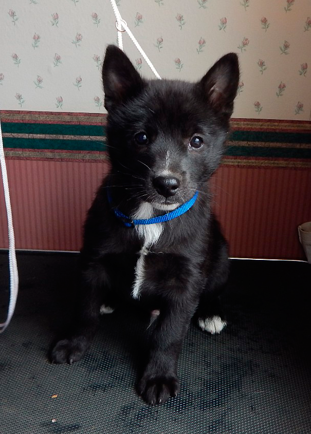Norwegian Buhund Puppy Schipperke Dog Dog Breeds Dog List