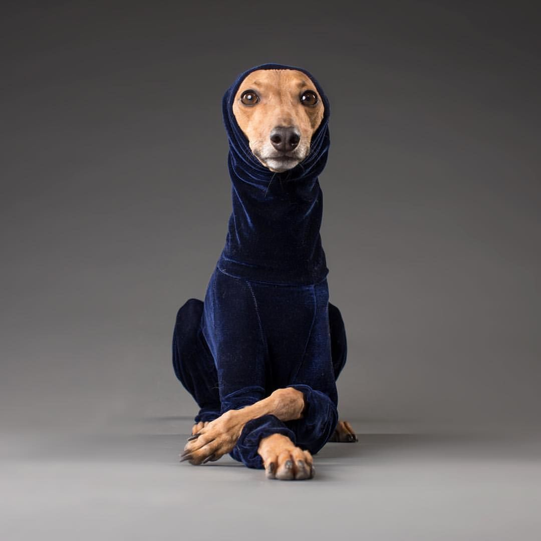Pin By Nastacia Cloete On Greyhounds Whippet Puppies Silly Dogs Italian Greyhound Clothes