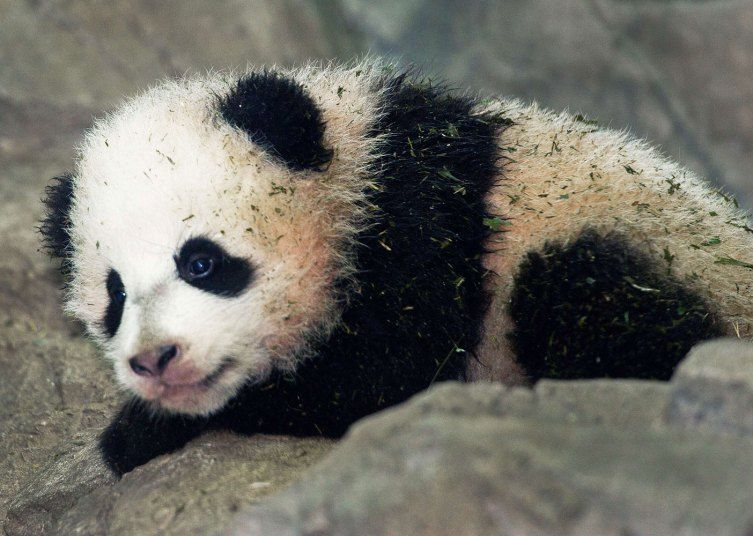 PHOTOS: National Zoo Panda Cub Makes Her Adorable Media Debut http://newsfeed.time.com/2014/01/06/national-zoo-panda-cub-makes-her-adorable-media-debut/#ixzz2q4WH3dFw
