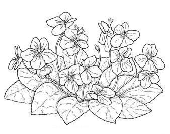2 African Violets Drawings Flower Drawing